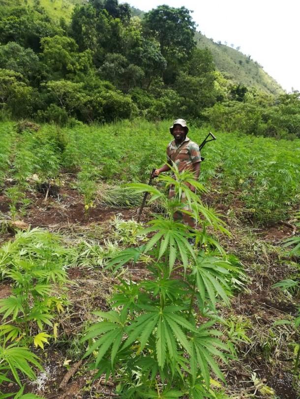police dagga plantation
